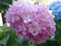 Hortensias de fleur photo stock