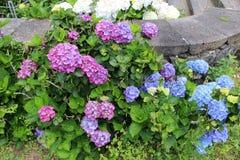 Hortensias de rose, bleus et blancs de floraison en parc de ville de Ribeira grand L'île de San Miguel Photo libre de droits