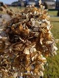 Hortensias del invierno fotos de archivo libres de regalías