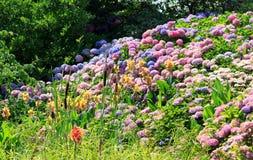 Hortensias en pleine floraison en été Photos stock