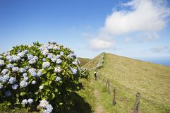 Hortensias in Faial, Azores Royalty Free Stock Photography