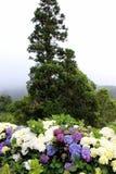 Hortensias fleurissants dans la perspective d'un arbre solitaire Photographie stock libre de droits