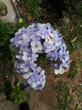 hortensias hydrangeas Stock Photo