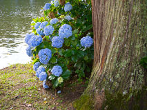 Hortensias. Hydrangeas and tree in the lake - Gramado - Brazil Stock Photo