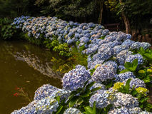Hortensias. In lake - Gramado city - Brazil Stock Images