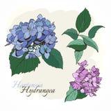 Hortensias - plan rapproché, bleu et lilas Photographie stock libre de droits