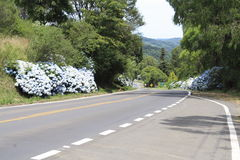 Hortensias in the Road to Gramado. Gramado is know as the Hortensia city, a beautiful blue flower Stock Photography