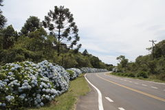 Hortensias in the Road to Gramado. A beautiful path of blooming hortensias blue flowers on the road to Gramado, south of Brazil Royalty Free Stock Photography