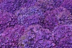 Hortensias violetas hermosas Imagen de archivo libre de regalías