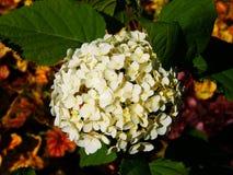 Hortensie arborescens ` Anabelle-` Lizenzfreie Stockfotos