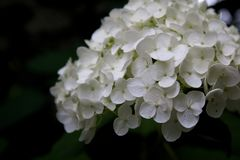 Hortensie auf Spätsommerblüte lizenzfreie stockbilder