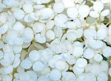 Hortensie-Blumenblätter Lizenzfreies Stockbild