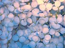 Hortensie-Blumenblätter Pale Blues und Rosa Stockfoto