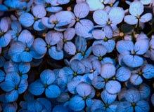 Hortensie-Blumenblatt-Blau-Schatten Lizenzfreie Stockfotografie