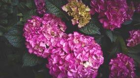 Hortensie empfindlich, Blumenbusch, Abschluss oben, Blumengarten stockfotos