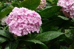 Hortensie im Garten Lizenzfreies Stockfoto