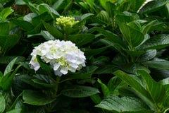 Hortensie im Garten Lizenzfreies Stockbild