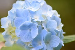 Hortensie Japan Stockfoto