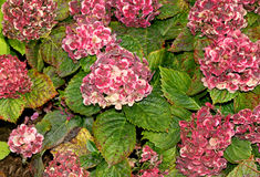 Hortensie macrophylla 'Frau Katsuko' Stockbild