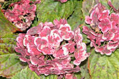 Hortensie macrophylla 'Frau Katsuko' Lizenzfreie Stockbilder