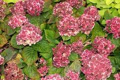 Hortensie macrophylla 'Frau Katsuko' Stockfotos