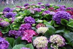 Hortensie Macrophylla Thunb im Garten Stockfoto
