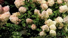 Hortensie paniculata Blume stock video footage
