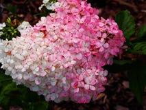 Hortensie paniculata ` Renhy-` ` Vanille Fraise-` - panicle Hortensie Lizenzfreies Stockfoto