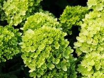 Hortensie paniculata ` wenig Kalk ` Lizenzfreie Stockfotografie