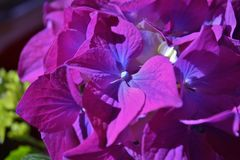 Hortensieblüte Lizenzfreies Stockfoto
