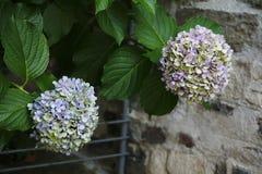 Hortensieblüte, Malvenfarbe, Blau, Rosa, Rosa eine Lizenzfreie Stockfotos