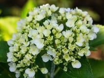 Hortensieblume Stockbilder