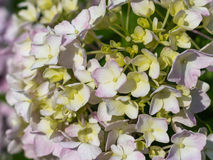 Hortensieblume Lizenzfreie Stockbilder