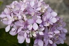 Hortensieblume Stockfotografie