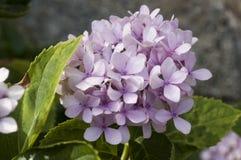 Hortensieblume Stockfoto