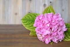 Hortensieblume auf hölzernem Hintergrund Lizenzfreies Stockfoto