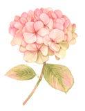 Hortensieblume in der Blüte - Aquarellmalerei lizenzfreie abbildung