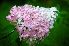 Hortensieblume im Garten Stockfotos