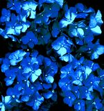 Hortensieblumen Lizenzfreie Stockfotos