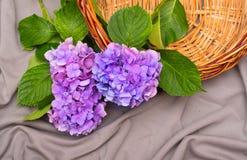 Hortensieblumen mit einem Korb Stockbilder