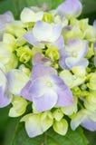 Hortensieblumenblätter Stockfotos