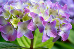 Hortensieblumenblätter Lizenzfreie Stockbilder