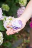 Hortensieblumenblätter in der Hand Stockfotos
