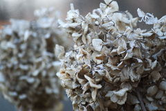 Hortensiebusch am Winter Lizenzfreie Stockfotos