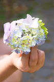Hortensieknospe in der Hand Stockfotos