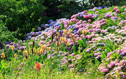Hortensien in voller Blüte im Sommer Stockfotos