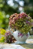 Hydrangea flowers in a old milk jug. On a table in a garden stock photography
