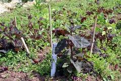 Hortensis del Atriplex Jardín Orache Orach rojo Espinaca de montaña Espinaca francesa Orache Arrach Foto de archivo libre de regalías