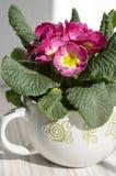 Hortensis rosa della primula con le foglie verdi in vaso, primoses fotografia stock