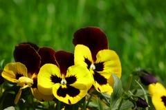 Hortensis tricolor della viola Immagini Stock Libere da Diritti